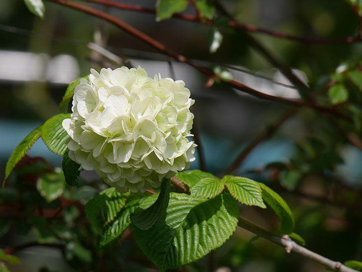 オオデマリ(大手鞠)の花が咲きだした。2021年-023.jpg