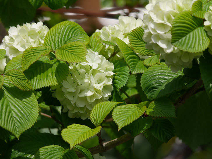 オオデマリ(大手鞠)の花が咲きだした。2021年-024.jpg