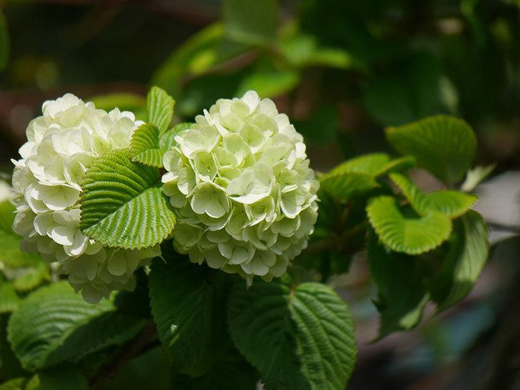 オオデマリ(大手鞠)の花が咲きだした。2021年-025.jpg