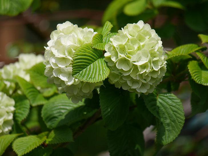 オオデマリ(大手鞠)の花が咲きだした。2021年-026.jpg