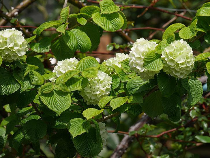 オオデマリ(大手鞠)の花が咲きだした。2021年-028.jpg