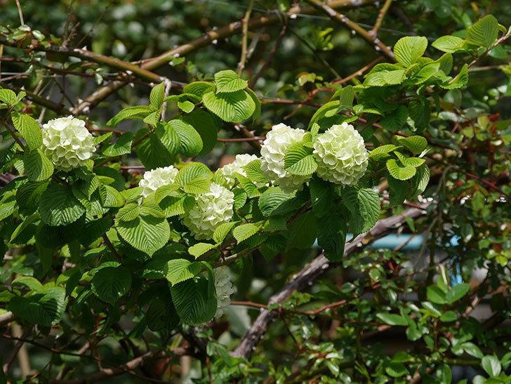 オオデマリ(大手鞠)の花が咲きだした。2021年-029.jpg