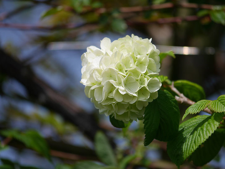 オオデマリ(大手鞠)の花が咲きだした。2021年-030.jpg