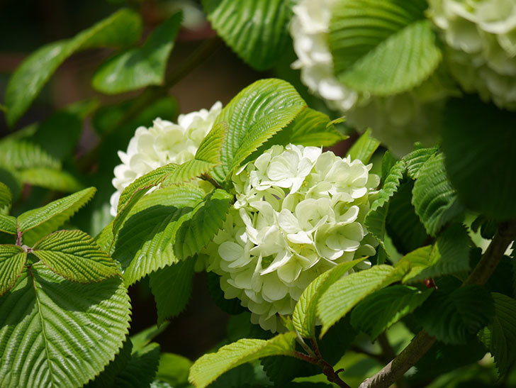 オオデマリ(大手鞠)の花が咲きだした。2021年-031.jpg