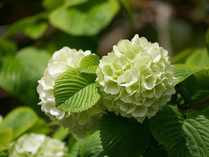 オオデマリ(大手鞠)の花が咲きだした。2021年-032.jpg
