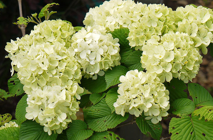 オオデマリ(大手鞠)の花が大きくなってきた。2016年-2.jpg