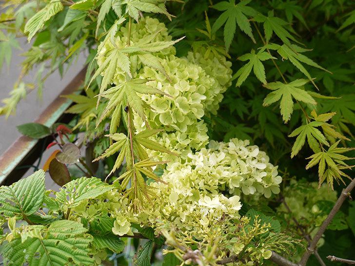 オオデマリ(大手鞠)の花が大きくなってきた。2016年-3.jpg