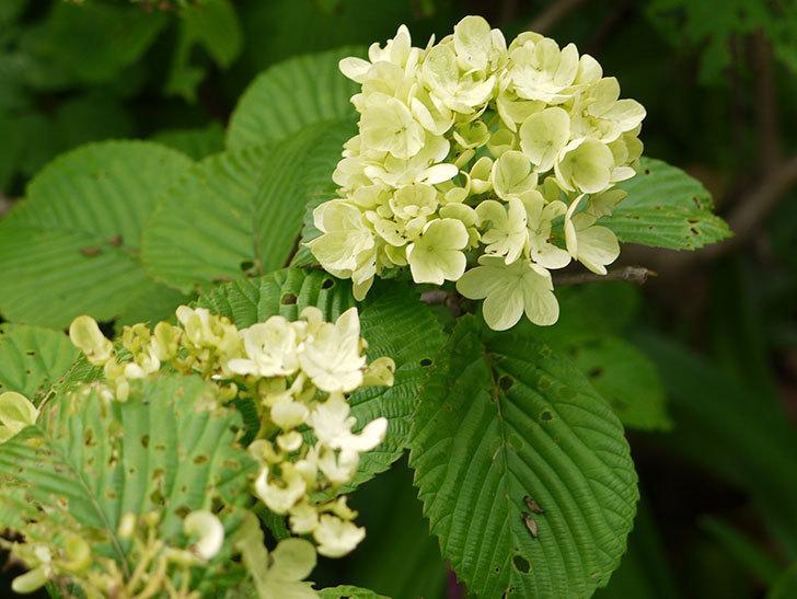 オオデマリ(大手鞠)の花が大きくなってきた。2016年-4.jpg