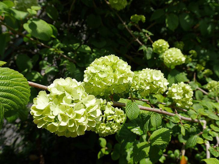 オオデマリ(大手鞠)の花が大きくなってきた。2018年-5.jpg