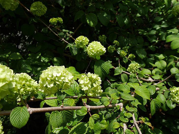 オオデマリ(大手鞠)の花が大きくなってきた。2018年-6.jpg