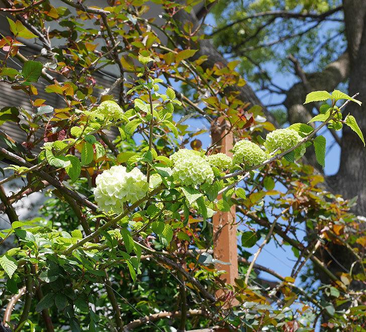 オオデマリ(大手鞠)の花が少し咲いた。2020年-1.jpg