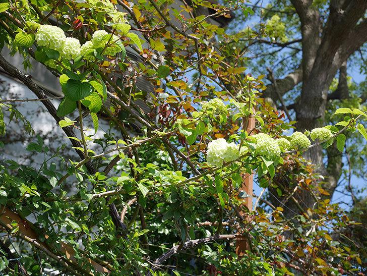オオデマリ(大手鞠)の花が少し咲いた。2020年-2.jpg