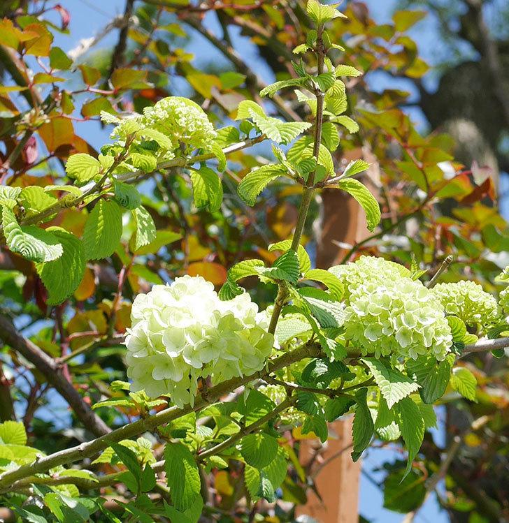オオデマリ(大手鞠)の花が少し咲いた。2020年-3.jpg