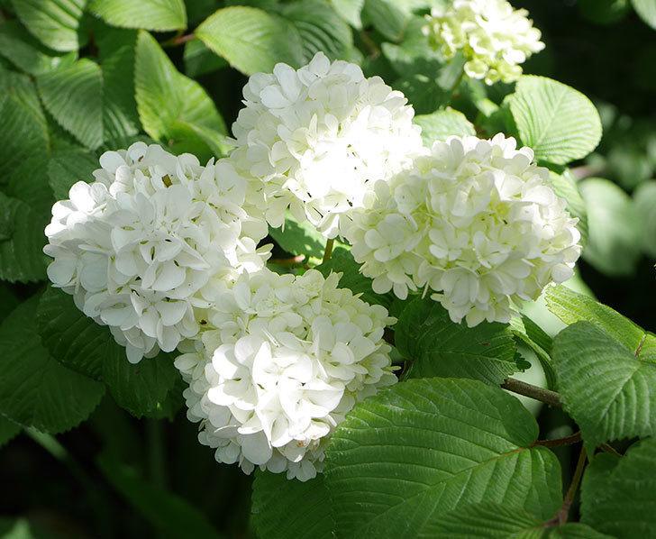 オオデマリ(大手鞠)の花が綺麗に咲いた。2020年-1.jpg