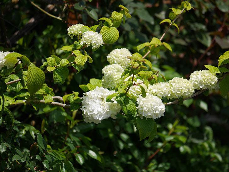 オオデマリ(大手鞠)の花が綺麗に咲いた。2020年-10.jpg