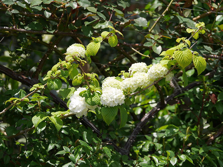 オオデマリ(大手鞠)の花が綺麗に咲いた。2020年-11.jpg