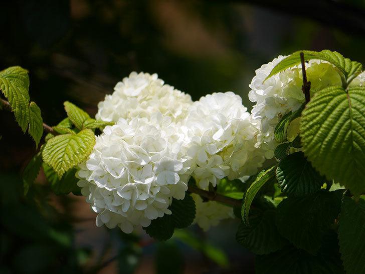 オオデマリ(大手鞠)の花が綺麗に咲いた。2020年-12.jpg