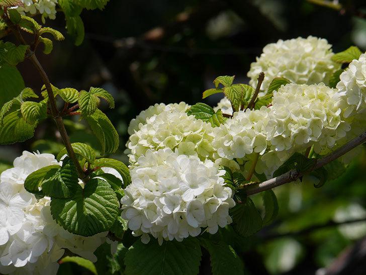 オオデマリ(大手鞠)の花が綺麗に咲いた。2020年-13.jpg