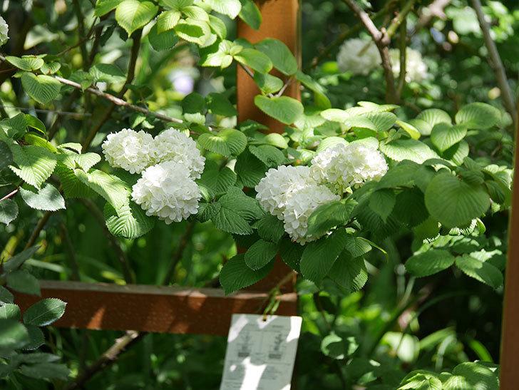 オオデマリ(大手鞠)の花が綺麗に咲いた。2020年-14.jpg