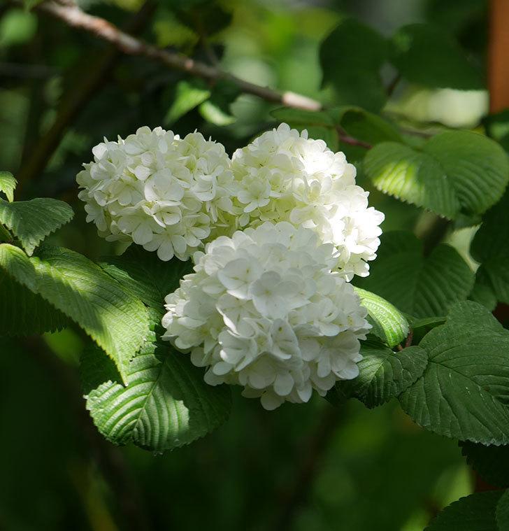 オオデマリ(大手鞠)の花が綺麗に咲いた。2020年-15.jpg