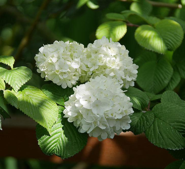 オオデマリ(大手鞠)の花が綺麗に咲いた。2020年-16.jpg