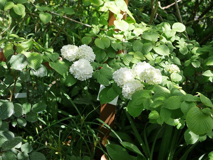 オオデマリ(大手鞠)の花が綺麗に咲いた。2020年-2.jpg