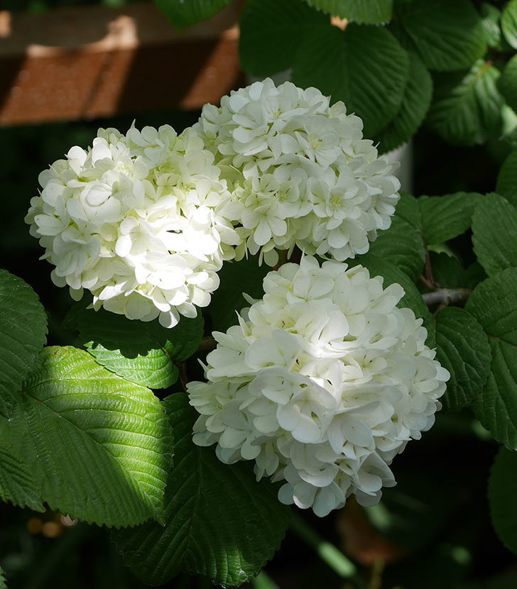 オオデマリ(大手鞠)の花が綺麗に咲いた。2020年-4.jpg