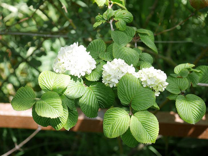 オオデマリ(大手鞠)の花が綺麗に咲いた。2020年-5.jpg