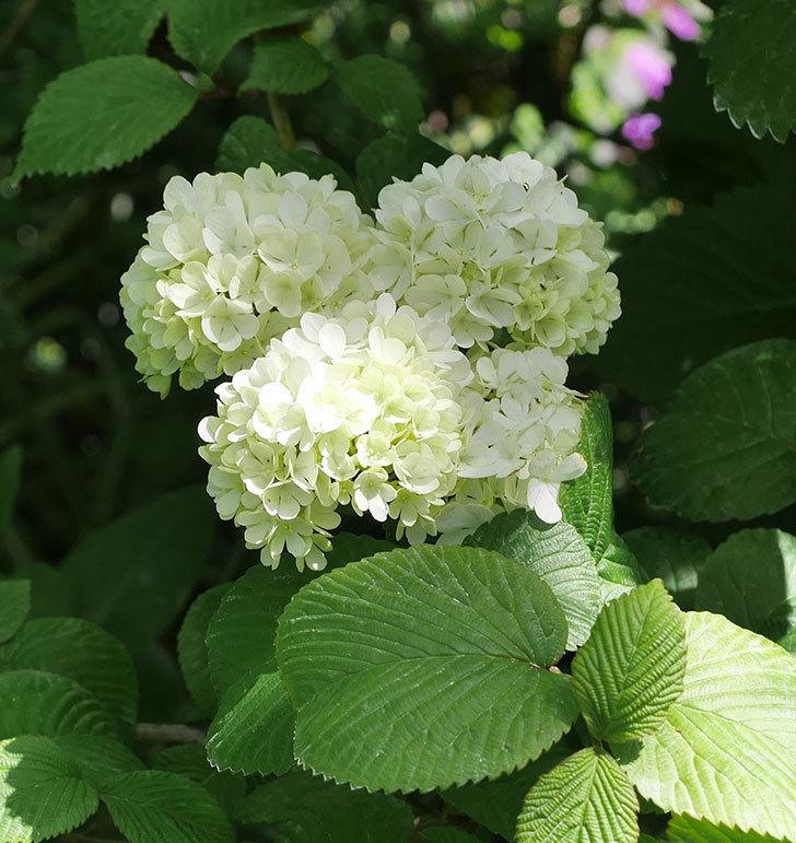 オオデマリ(大手鞠)の花が綺麗に咲いた。2020年-6.jpg
