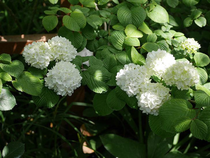 オオデマリ(大手鞠)の花が綺麗に咲いた。2020年-7.jpg