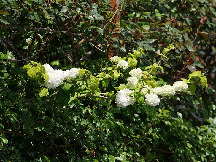 オオデマリ(大手鞠)の花が綺麗に咲いた。2020年-8.jpg
