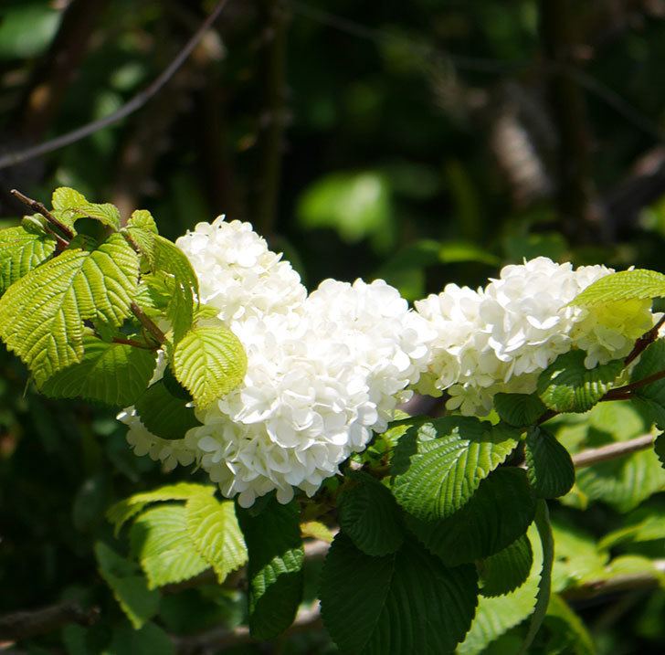 オオデマリ(大手鞠)の花が綺麗に咲いた。2020年-9.jpg