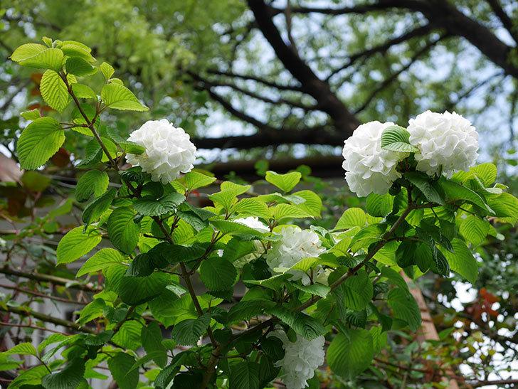 オオデマリ(大手鞠)の花が綺麗に咲いた。2021年-001.jpg