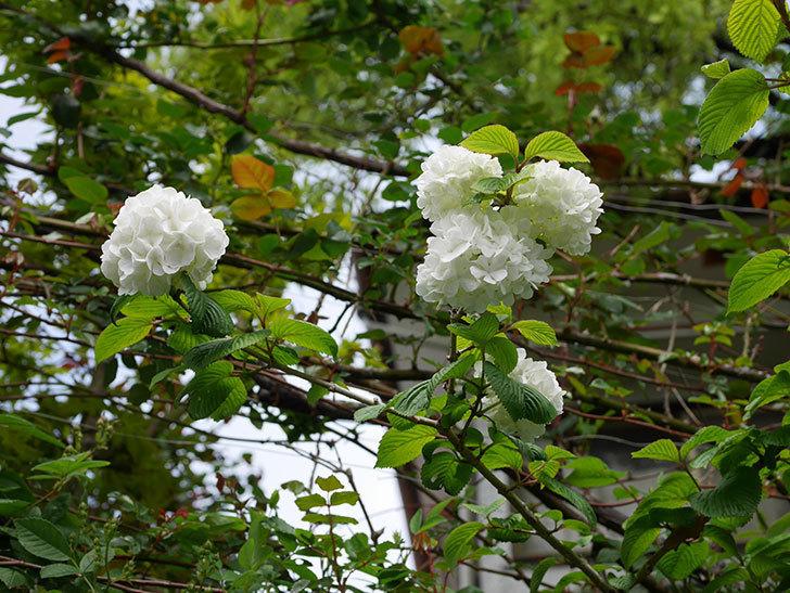 オオデマリ(大手鞠)の花が綺麗に咲いた。2021年-002.jpg