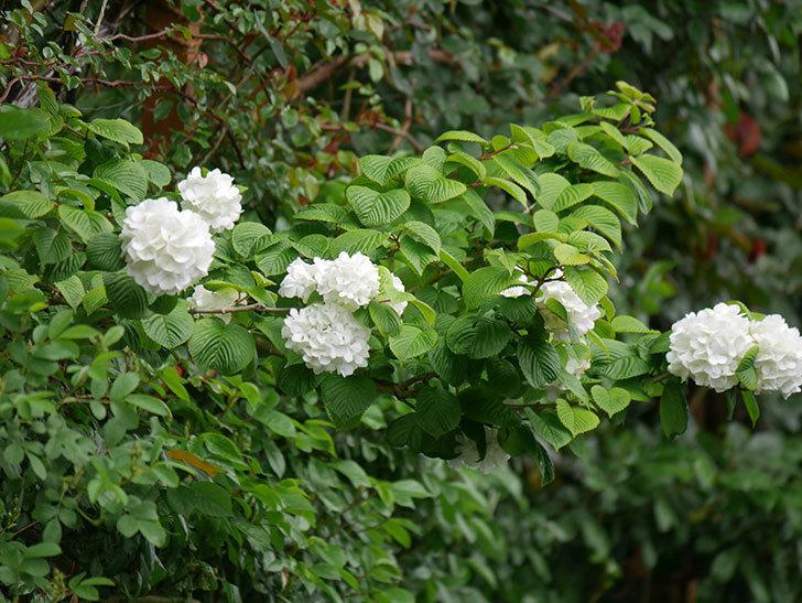 オオデマリ(大手鞠)の花が綺麗に咲いた。2021年-003.jpg