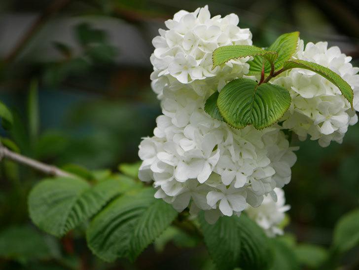 オオデマリ(大手鞠)の花が綺麗に咲いた。2021年-004.jpg