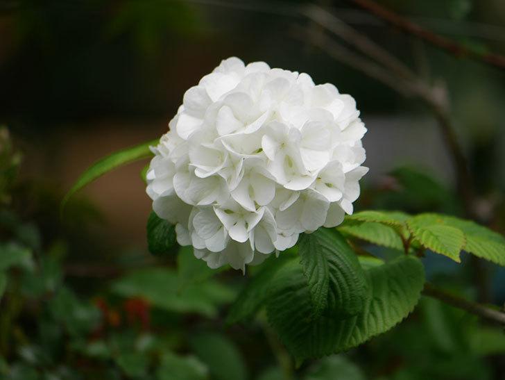 オオデマリ(大手鞠)の花が綺麗に咲いた。2021年-005.jpg