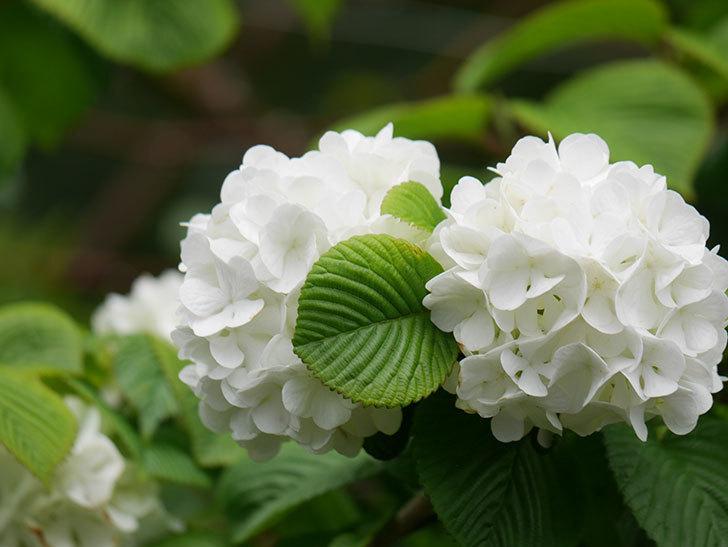 オオデマリ(大手鞠)の花が綺麗に咲いた。2021年-006.jpg