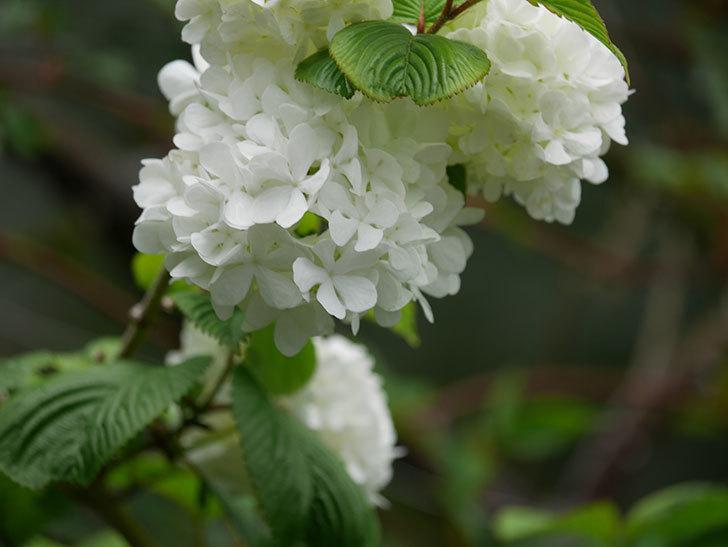 オオデマリ(大手鞠)の花が綺麗に咲いた。2021年-007.jpg