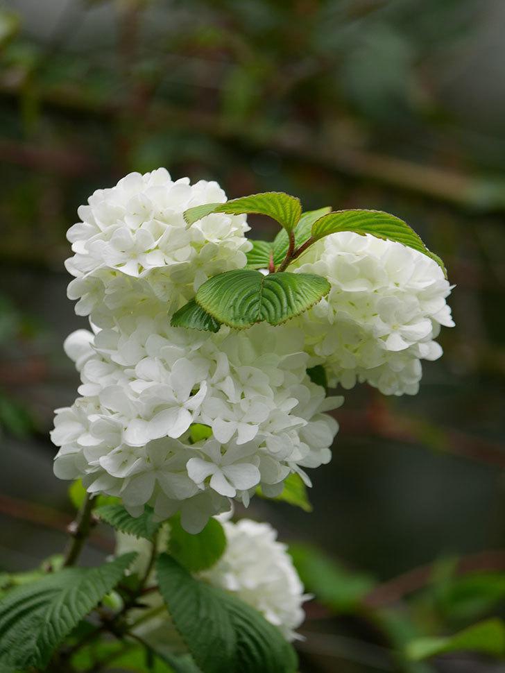 オオデマリ(大手鞠)の花が綺麗に咲いた。2021年-008.jpg
