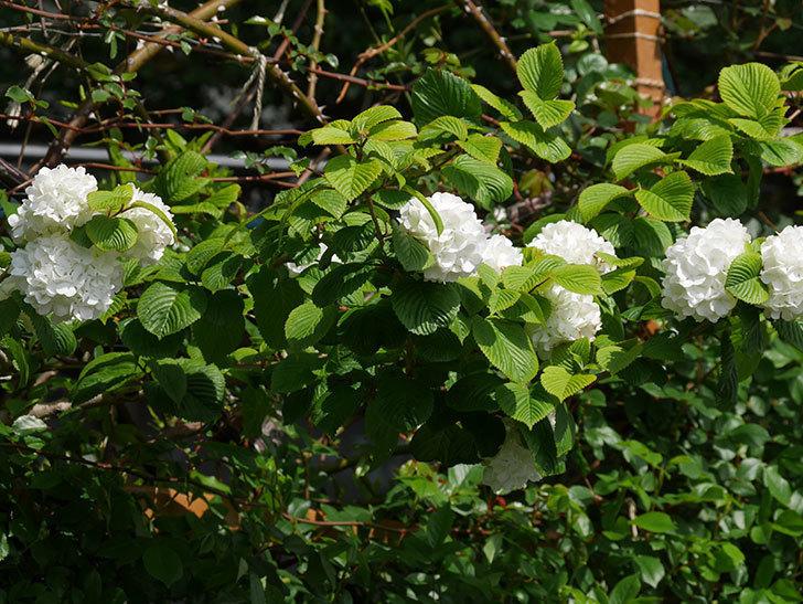 オオデマリ(大手鞠)の花が綺麗に咲いた。2021年-009.jpg