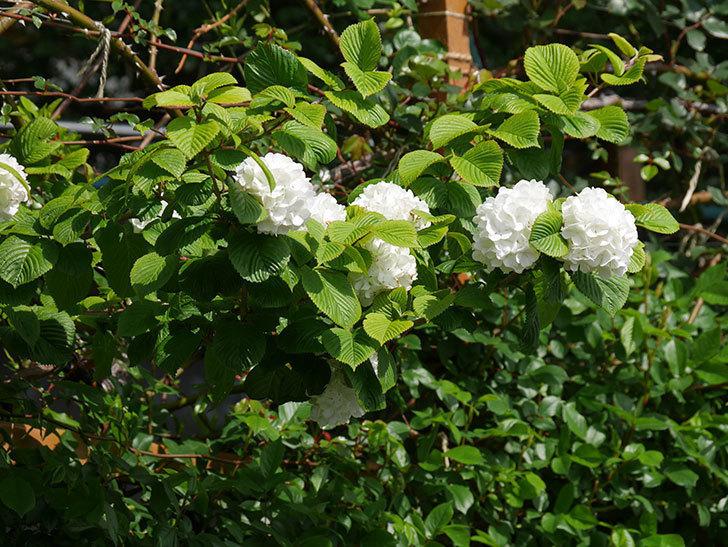 オオデマリ(大手鞠)の花が綺麗に咲いた。2021年-010.jpg