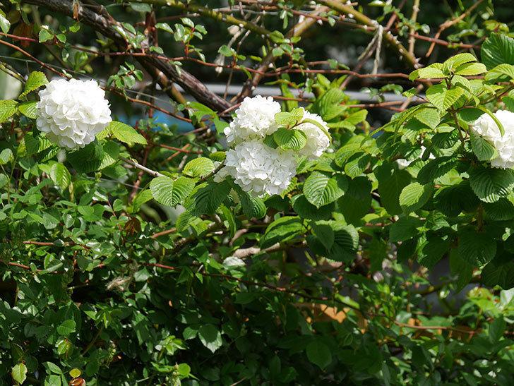 オオデマリ(大手鞠)の花が綺麗に咲いた。2021年-011.jpg