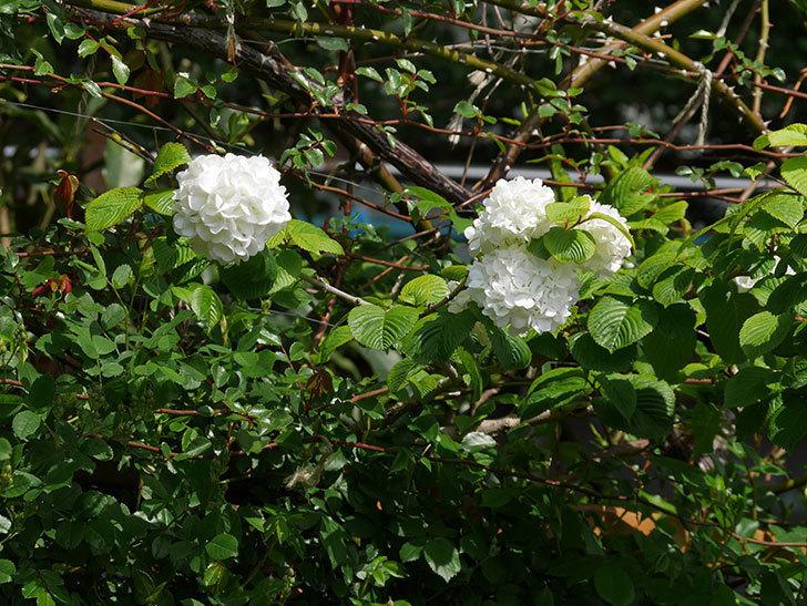 オオデマリ(大手鞠)の花が綺麗に咲いた。2021年-012.jpg
