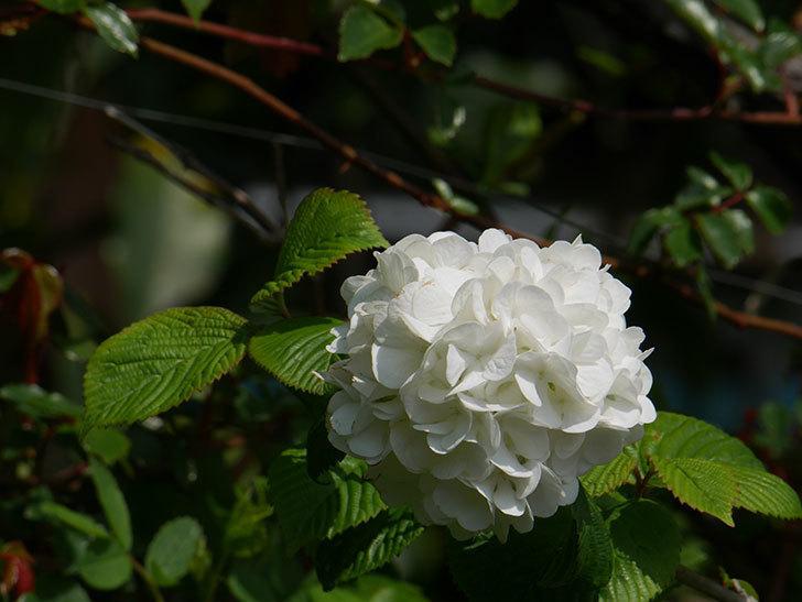 オオデマリ(大手鞠)の花が綺麗に咲いた。2021年-013.jpg