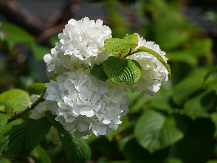 オオデマリ(大手鞠)の花が綺麗に咲いた。2021年-014.jpg
