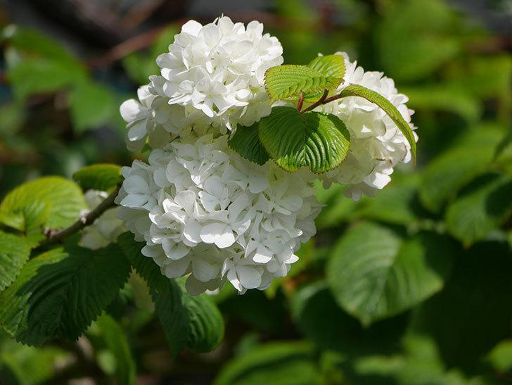 オオデマリ(大手鞠)の花が綺麗に咲いた。2021年-015.jpg