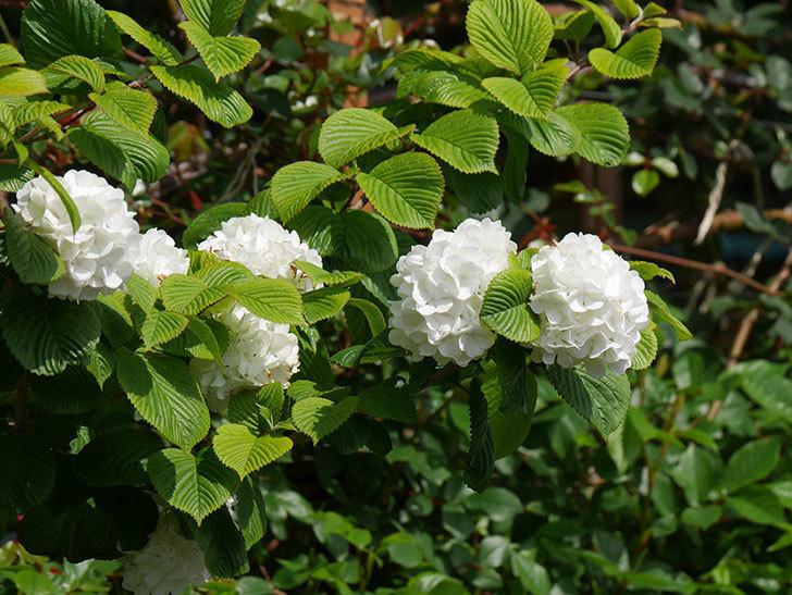 オオデマリ(大手鞠)の花が綺麗に咲いた。2021年-016.jpg