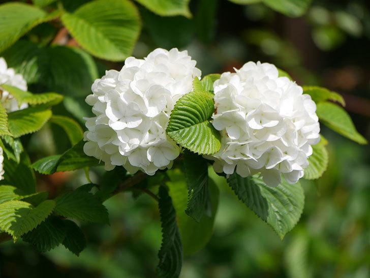 オオデマリ(大手鞠)の花が綺麗に咲いた。2021年-018.jpg