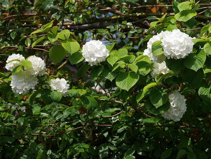 オオデマリ(大手鞠)の花が綺麗に咲いた。2021年-019.jpg